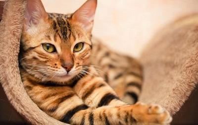Нет аллергии на бенгальскую кошку