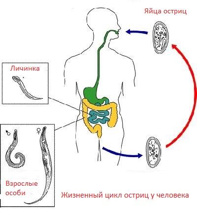 Острицы у взрослых: симптомы и лечение глистов » Всё о паразитах человека